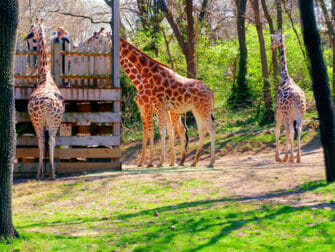 Giraffes at Bronx Zoo NYC