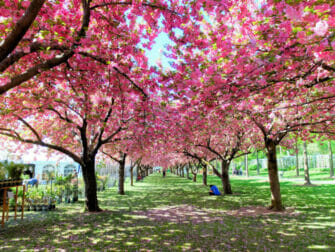 Botanical Gardens in New York Cherry Blossoms